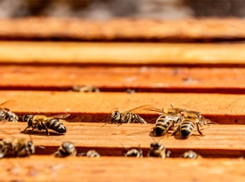 bees-on-frame