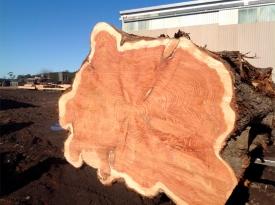 gold-cypress-log-end-grain